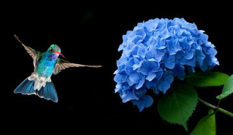 Hummingbird-hovering-on-Hydrangea-HD-picture.jpg